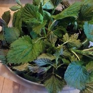 It is Nettle Season!