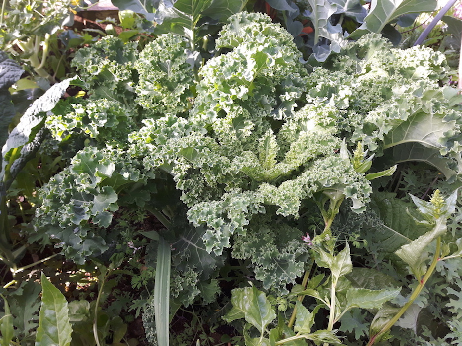 curly kale for kale chips