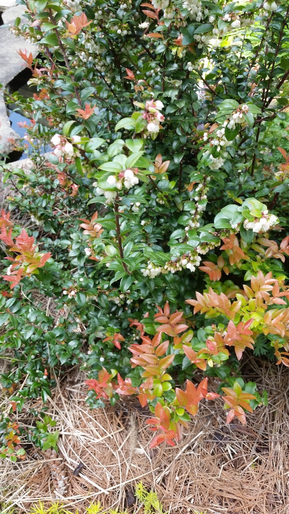 evergreen huckelberry